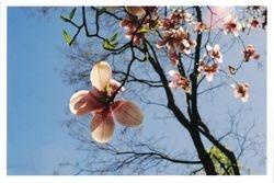 Magnolia, Spring 2005