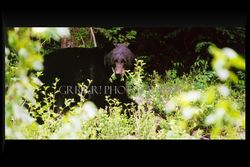 Black Bear eating grasses