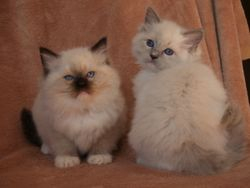 Seal mitted and blue mitted littermates