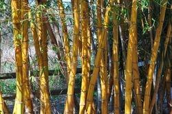 Florida Botanical Gardens Bamboo