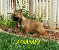 ADF CH Lilac Nation AddadabaButterball - NOT BREEDING