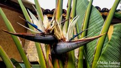 Giant Bird of Paradise