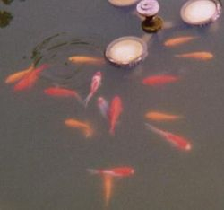 Goldfish, comets and shubunkins around the fountain lights