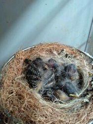 4 Black-throated Canary chicks at 12 days old