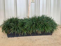 Mini MOndo Grass Flat 18 ct