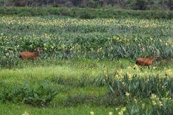 Cervo do pantanal ( Blastocerus dichotomus )
