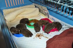 Orphaned Hedgehogs
