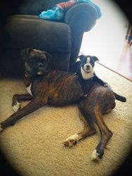 Beau & His New Boxer Buddy, Bailey
