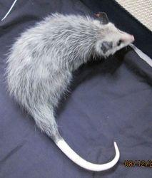 Juvenile Opossum 1