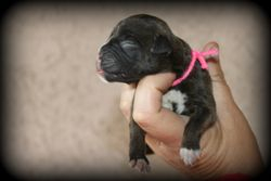 Classic Brindle Female; Pink Yarn AVAILABLE!