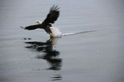 Bald Eagle  in Lac Bras d'Or near Sydney