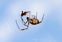 Sydney Golden Orb Weaver 2