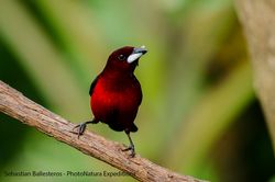 Crimson-backed tanager - Ramphocelus dimidiatus