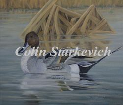 "Northern Pintail (11 by 14"" oil on canvas) In Private Collection"