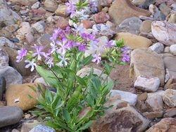 Soapwort. Saponaria officinalis