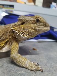 Violet- Yellow Female