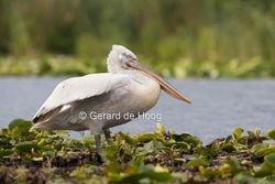 kroeskop pelikaan