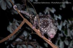 Arboreal porcuepine - Coendou prehensilis