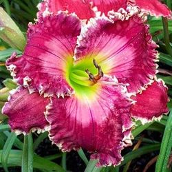 Ruby Clare Mims Daylily