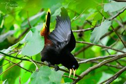 Crested oropendola male displaying