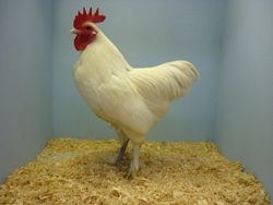 Best White Bantam