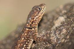 Lagarto ( Tropidurus sp. )