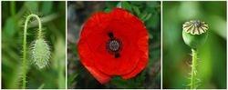 Three stages of poppy flower
