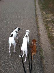 Italian Greyhound walk