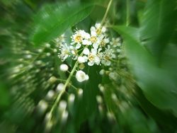 Blossom / Bloesem