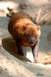 Cachorro do mato vinagre - Cachorro vinagre ( Speothos venaticus )