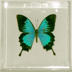6x6x1.5 lucite frame with Papilio ulysses