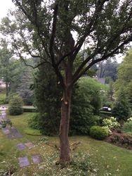 Trimming a Large Poplar in Villanova, PA 19085