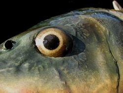 carp eye detail