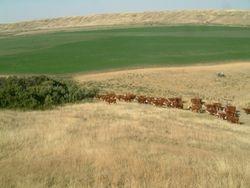 moving heifers