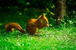 Erwin - Rotes Eichhörnchen beim Fressen / Red Squirrel dinner time