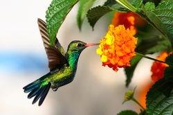 Beija-flor - Esmeralda-de-bico-vermelho (Chlorostilbon lucidus)