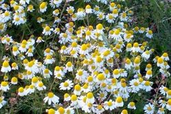 "the ""humble"" Chamomile"