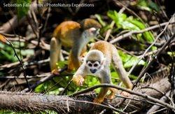 Squirrel monkey - Saimiri sciurus