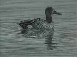 "Blue-winged Teal (9 by 11"" graphite on paper)"