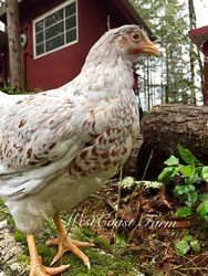 Double Laced Splash pullet- 15 weeks old