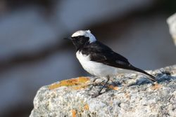 Pied Wheatear  -  TRAQUET PIE