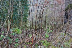 The death of the Himalayan knotweed, January