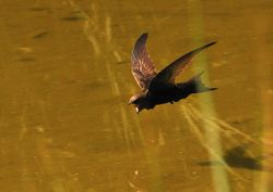 Common Swift   (Martinet noir)
