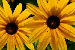 Two Black-eyed Susans