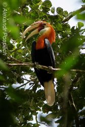 Cocomo - Blythis Hornbill (Rhyticeros plicatus), Wanang