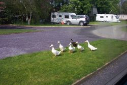 Caravan site ducks on one of their daily rounds