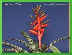 'Zebrina' $30.00