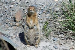 Ground Squirrel in Denali Park