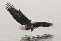Sure an Eagle
