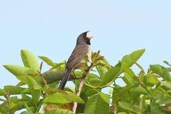 Bico-de-pimenta ( Saltatricula atricollis )
